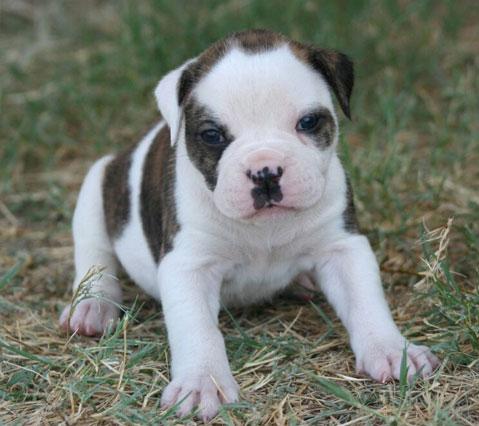 English Bulldog Puppies for Sale - The Bulldog Breeder